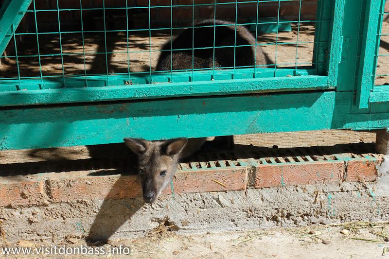 Маленький кенгуру. Зоопарк Деревня Вашуры в Мариуполе
