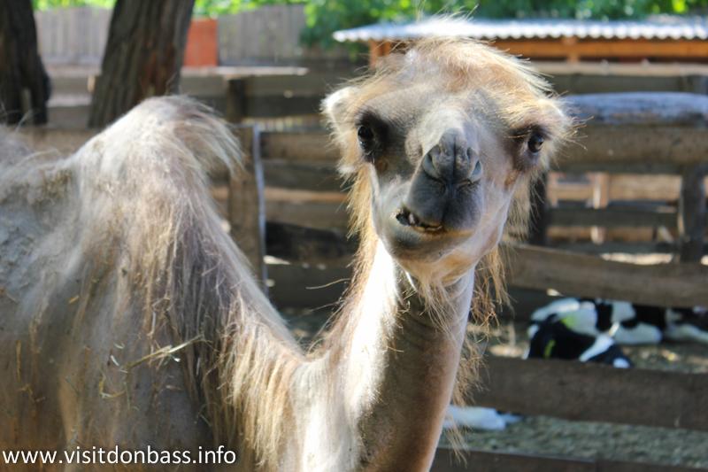 Верблюд. Зоопарк Деревня Вашуры в Мариуполе