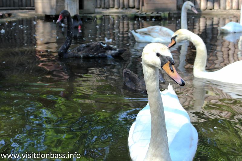 Черные и белые лебеди. Зоопарк Деревня Вашуры в Мариуполе