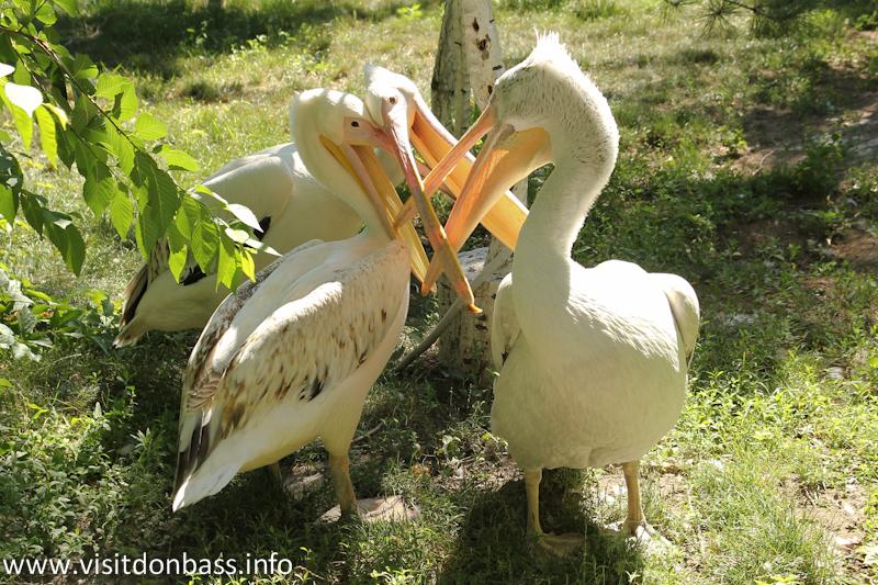 Пеликаны. Зоопарк Деревня Вашуры в Мариуполе