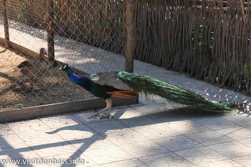 Павлин в зоопарке Деревня Вашуры в Мариуполе