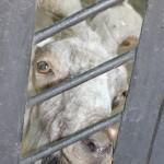 Мархур - сразу и не сообразишь, что это винторогий козел, Докучаевск зоосад