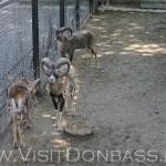 Семейство муфлонов не стесняясь линяет, Докучаевск зоосад