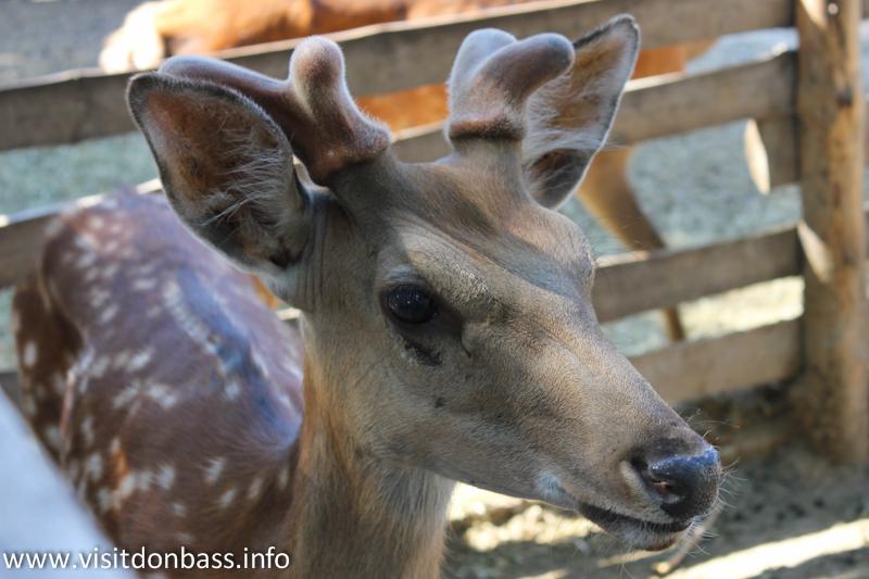 Пятнистый олень. Зоопарк Деревня Вашуры в Мариуполе