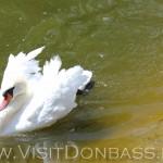 Лебеди есть и белые, и черные, Докучаевск зоосад